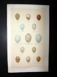 Seebohm 1896 Antique Bird Egg Print. Cuckoo 49